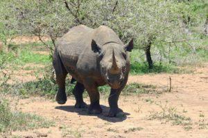 Animales extinguidos por el hombre. Rinoceronte negro