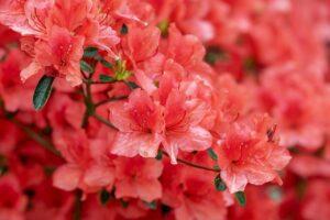 Plantas peligrosas en casa, azalea