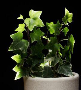 potos, plantas venenosas en el hogar