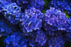 Plantas del hogar venenosas, la hortensia