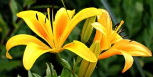 plantas tóxicas del hogar, los lirios